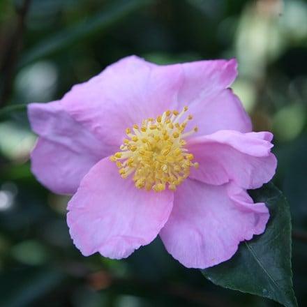 Camellia sasanqua Plantation Pink