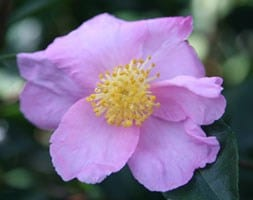 autumn flowering camellia