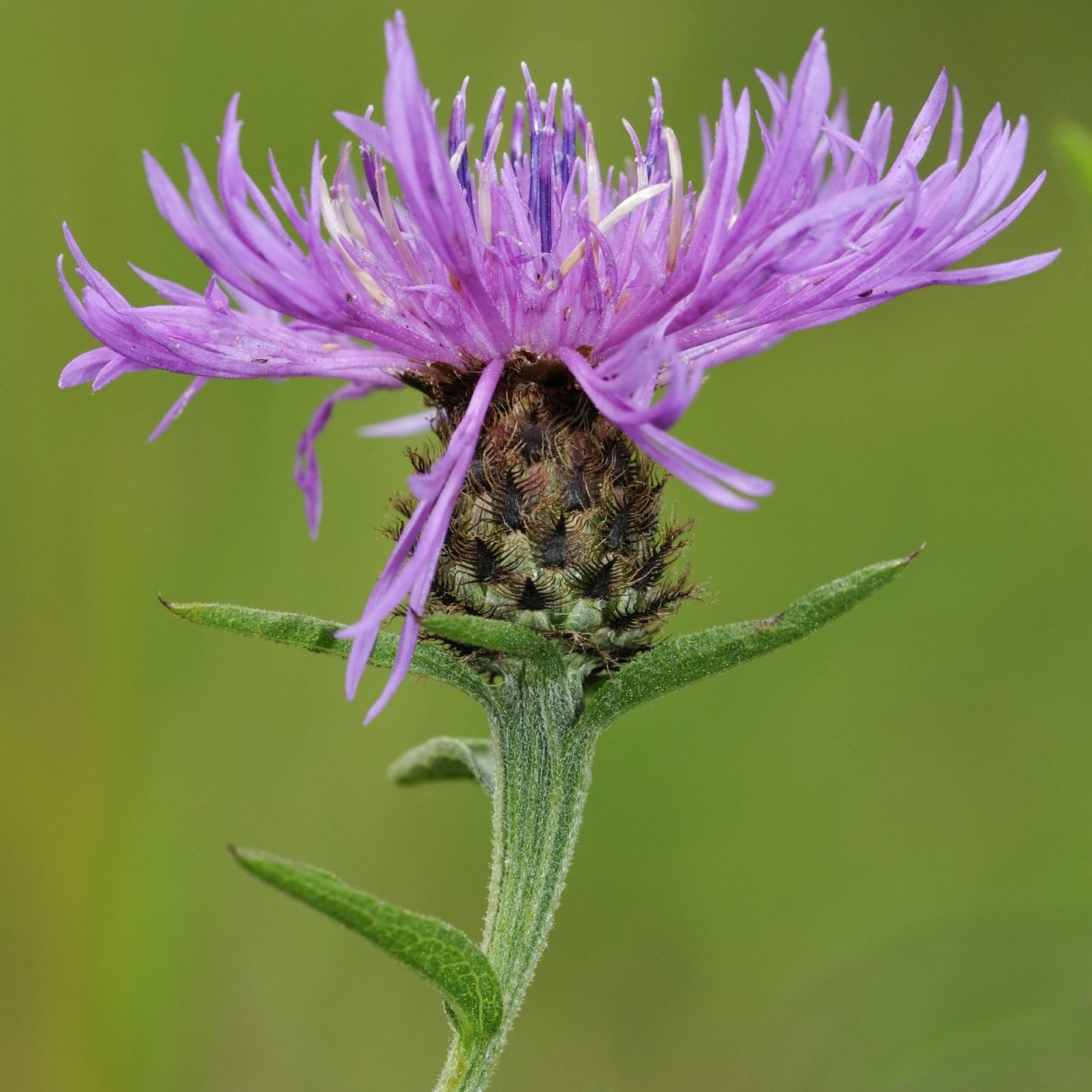 black knapweed / common knapweed