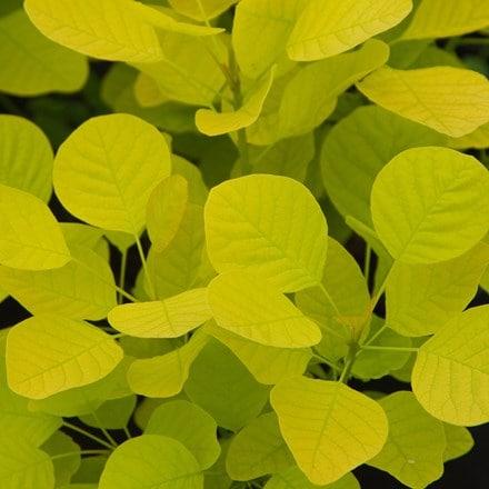 Cotinus coggygria Golden Spirit ('Ancot') (PBR)