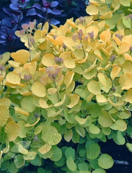 Buy Smoke Bush Cotinus Coggygria Golden Spirit Ancot