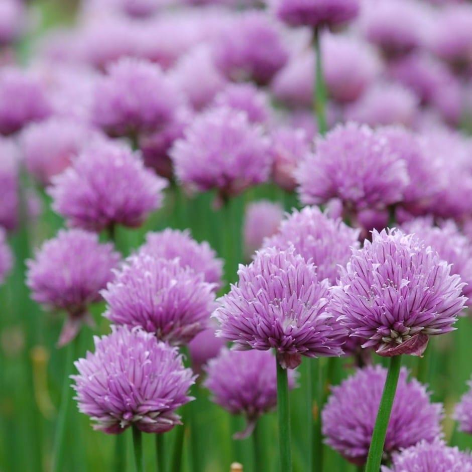 chives / Allium schoenoprasum