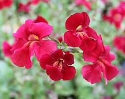 Mimulus cupreus Red Emperor