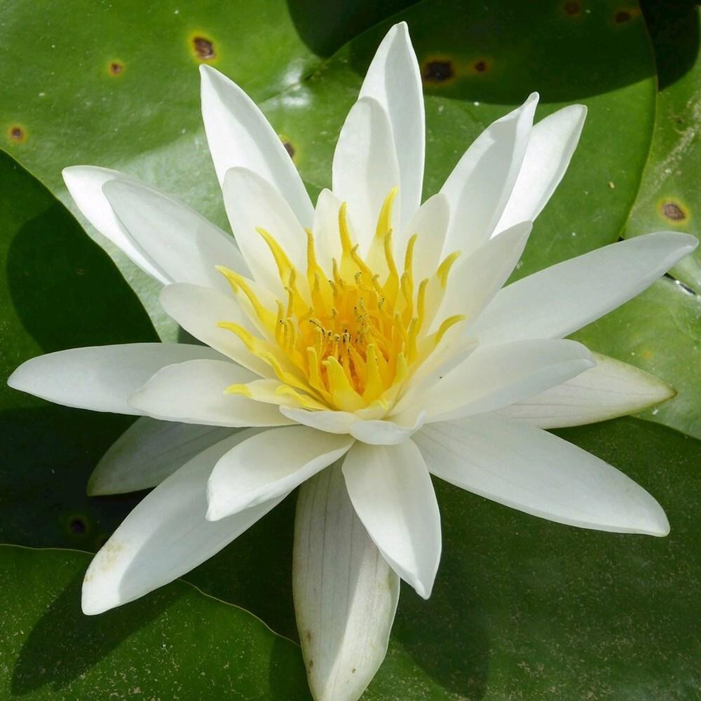 2 White water lily alba pond plants
