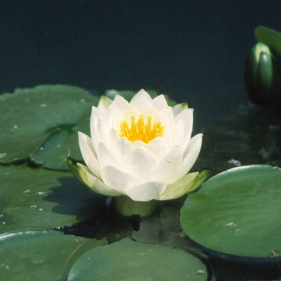 Buy white water lily nymphaea alba 2999 delivery by crocus nymphaea alba izmirmasajfo