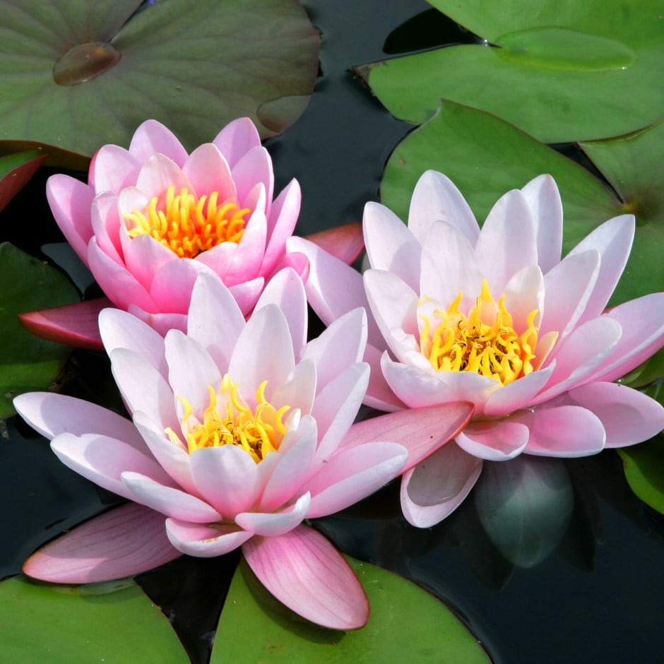 Buy Water Lily Nymphaea Marliacea Carnea 2999 Delivery By Crocus