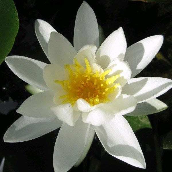 water lily (syn. N. pygmaea 'Alba')