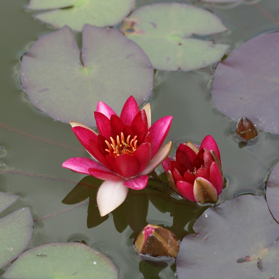 Buy Water Lily Nymphaea Pygmaea Rubra 163 29 99 Delivery By