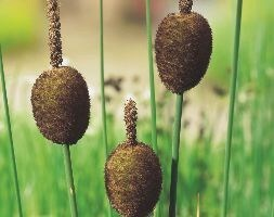 miniature bulrush