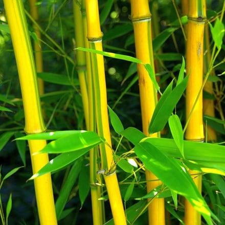 Phyllostachys aureosulcata f. spectabilis