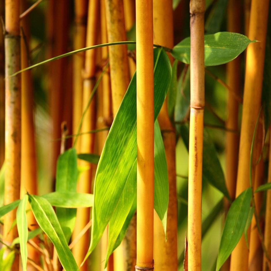 golden-groove bamboo