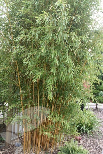 Buy Golden Groove Bamboo Phyllostachys Aureosulcata F