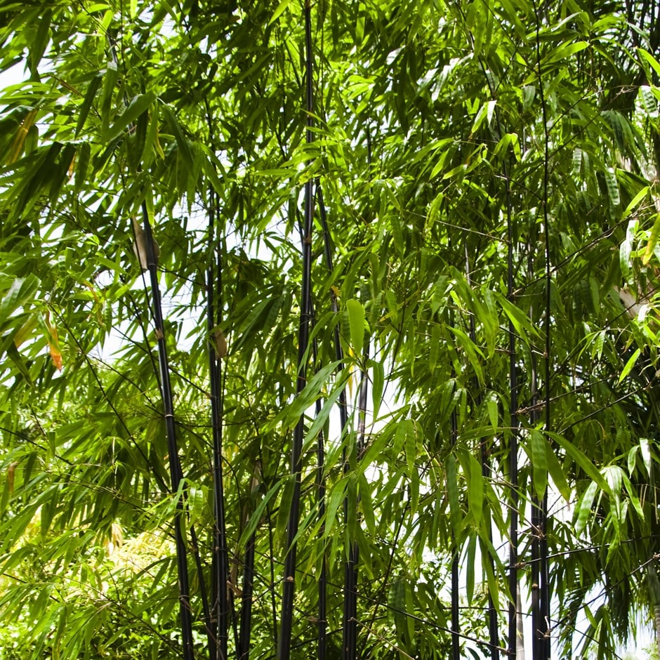 Bamboo Pants Uk: Buy Black Bamboo Phyllostachys Nigra: £19.99 Delivery By