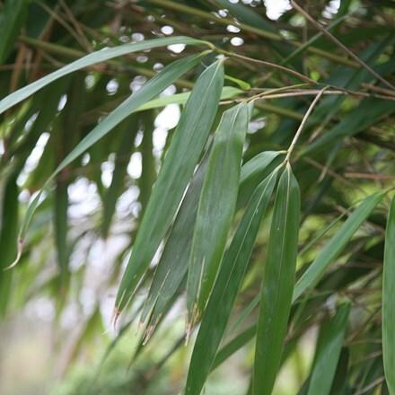Pseudosasa japonica