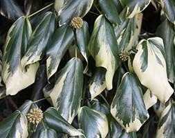 Persian ivy