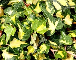 common ivy (syn Goldheart )