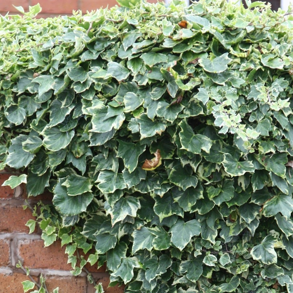 English ivy / common ivy