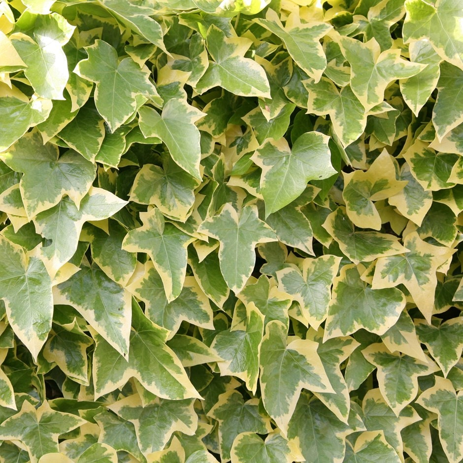 English ivy or common ivy