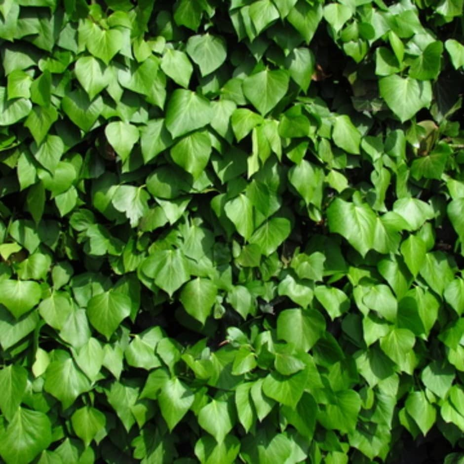 Irish ivy