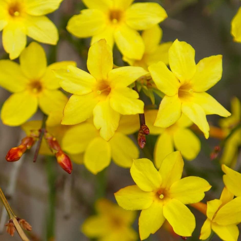 Buy Winter Jasmine Jasminum Nudiflorum Delivery By
