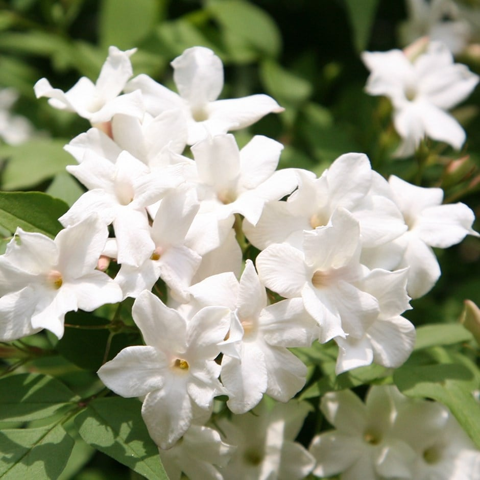 Buy common white jasmine jasminum officinale 1499 delivery by crocus zoom izmirmasajfo