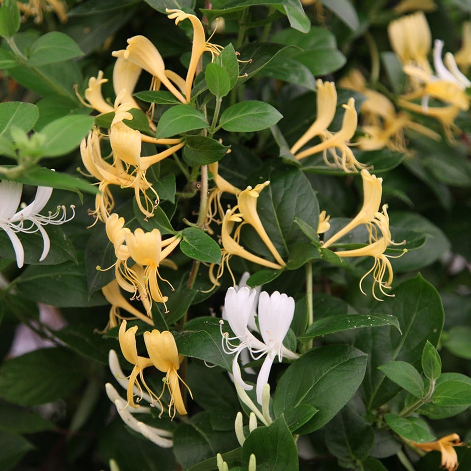 Japanese honeysuckle