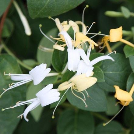 Lonicera japonica Halls Prolific