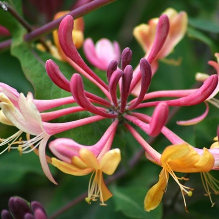 Lonicera × heckrottii Gold Flame