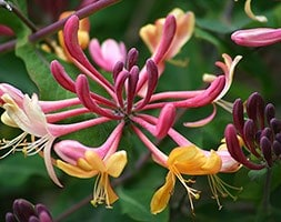 honeysuckle (syn American Beauty)