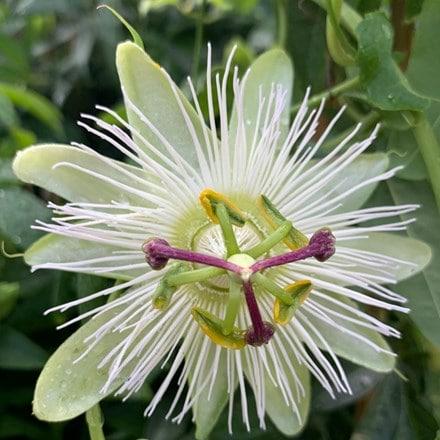 Passiflora caerulea Constance Eliott