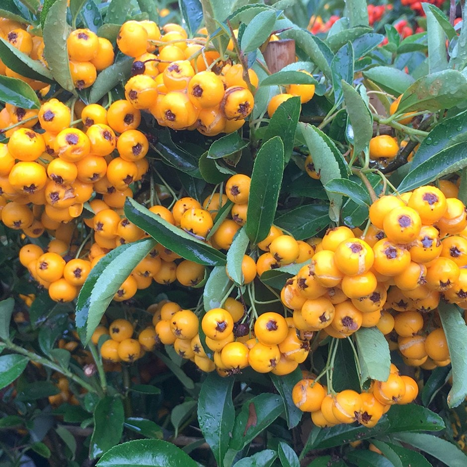 firethorn ( syn. Saphyr Yellow )