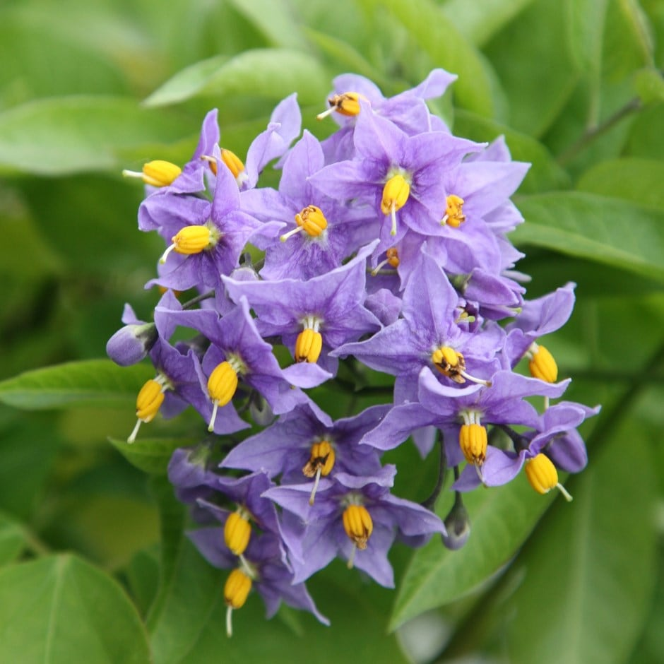 Buy Chilean Potato Tree Solanum Crispum Glasnevin
