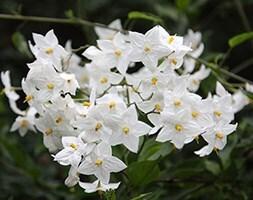 potato vine (syn. S. jasminoides 'Album')