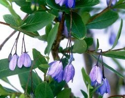 bluebell creeper
