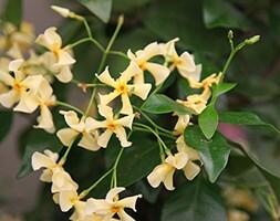 Chinesse jasmine