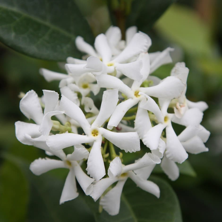 buy star jasmine trachelospermum jasminoides delivery by waitrose garden in association with crocus. Black Bedroom Furniture Sets. Home Design Ideas