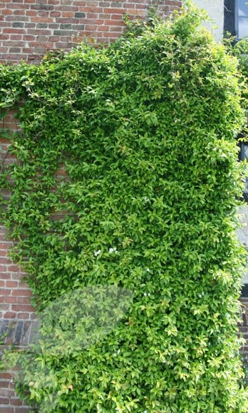 Buy Star Jasmine Trachelospermum Jasminoides Delivery By