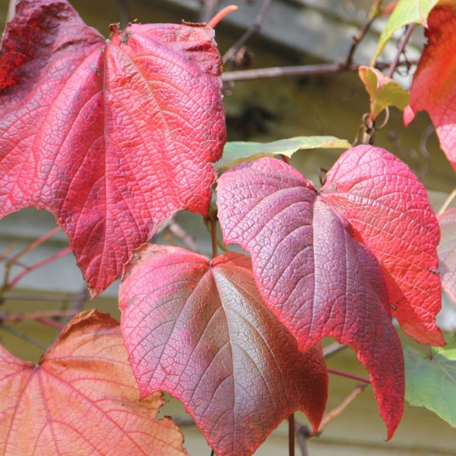 crimson glory grape vine