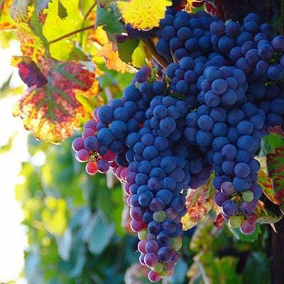 Buy Black Hamburg Grape Vitis Vinifera Black Hamburg
