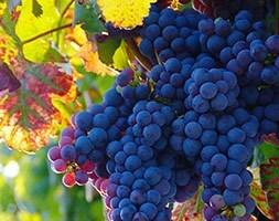 black hamburg grape
