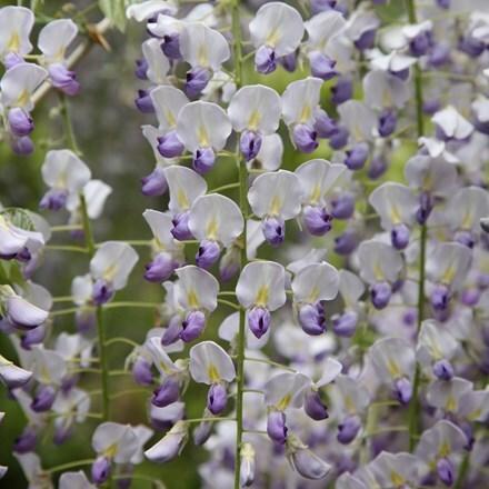 Wisteria floribunda f. Multijuga