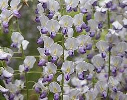 Japanese wisteria (syn. W. Macrobotrys)