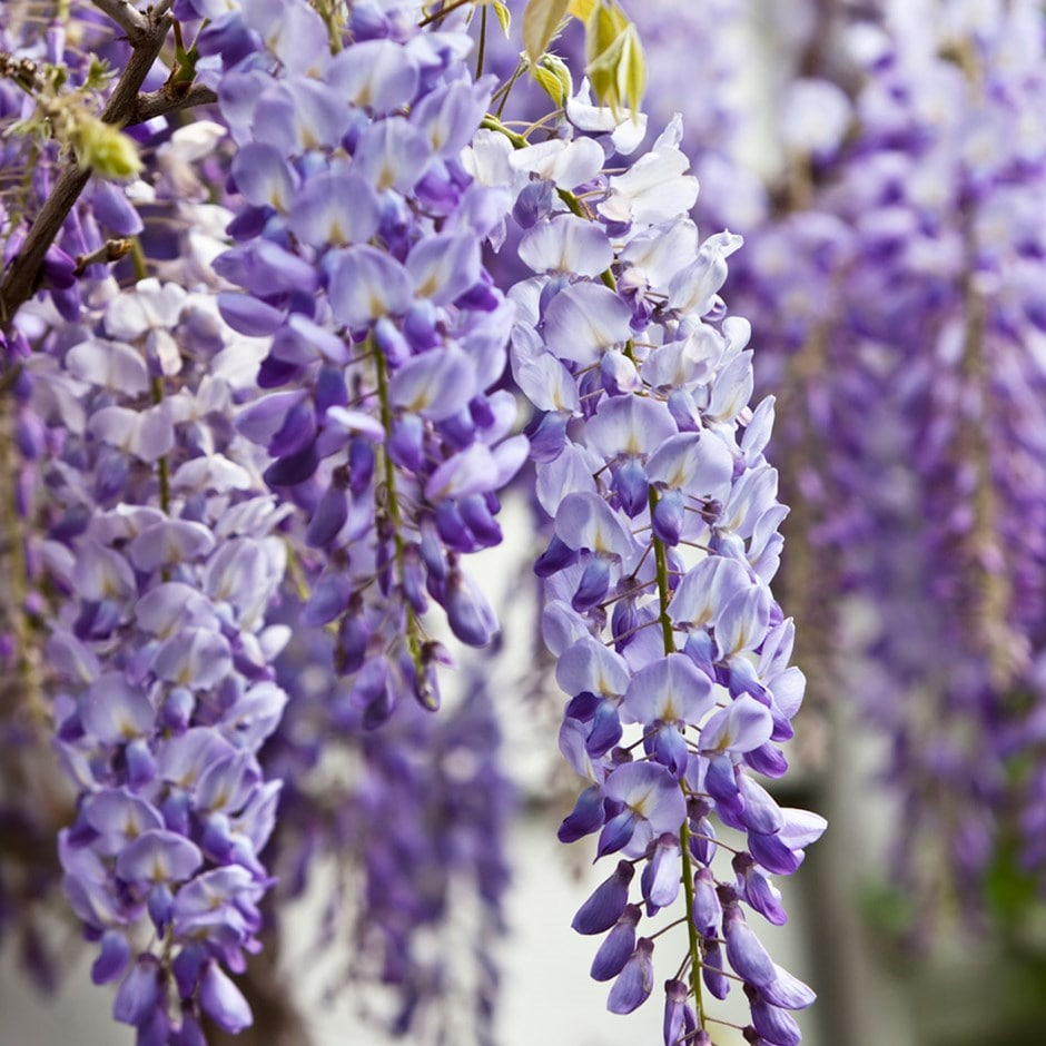 Buy chinese wisteria wisteria sinensis for The wisteria