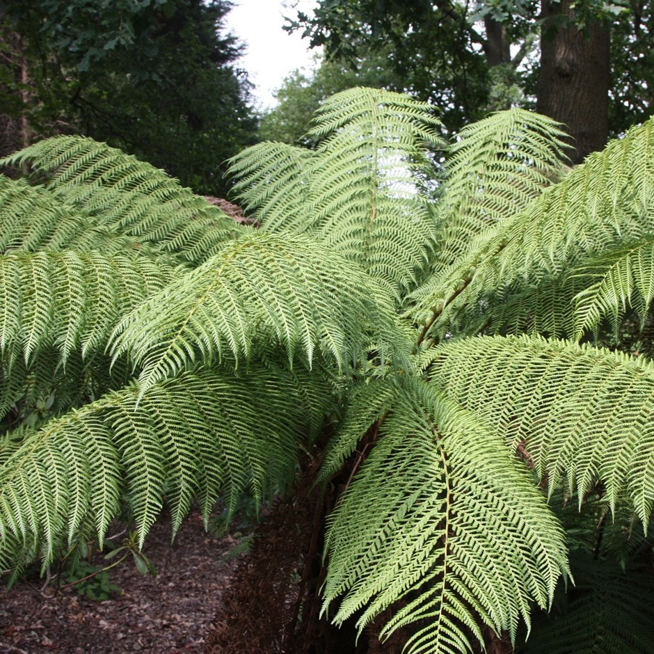 Buy Tree Fern Dicksonia Antarctica Delivery By Waitrose