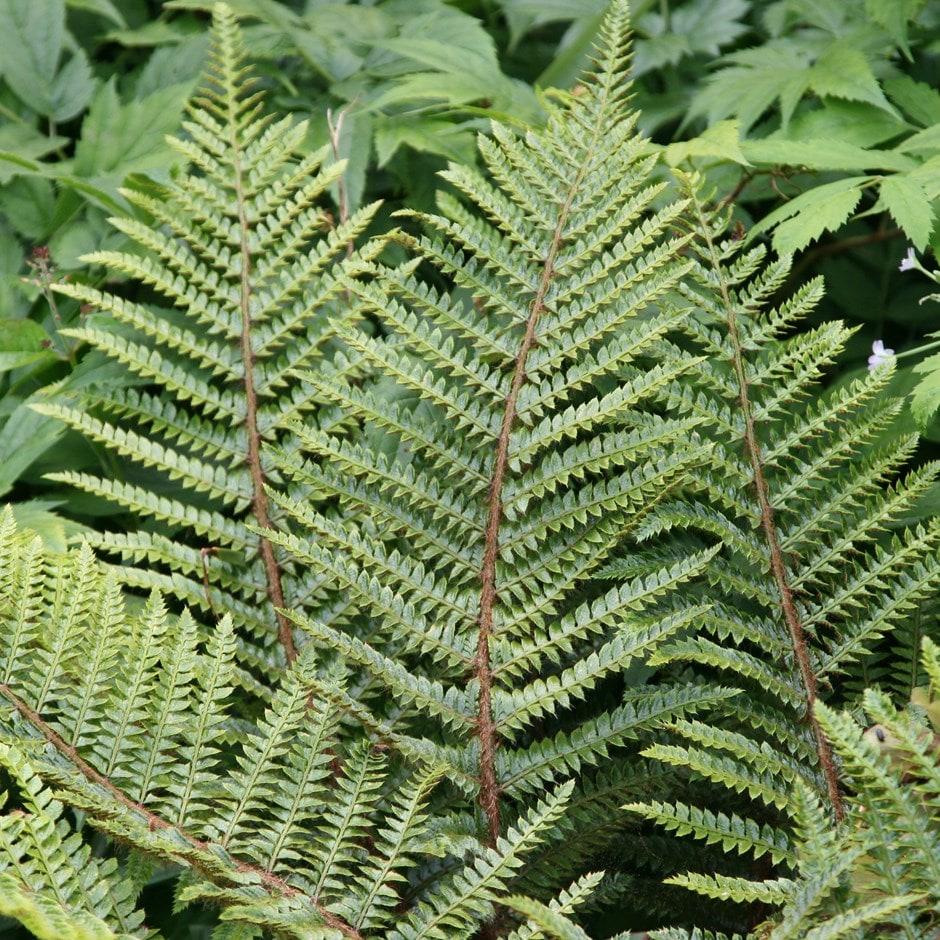 Japanese tassel fern