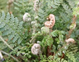 soft shield fern