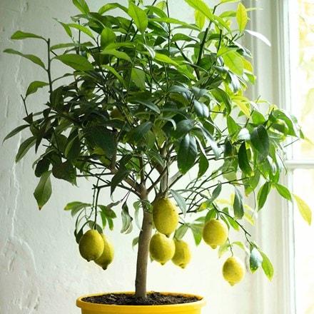 Citrus × limon Gareys Eureka