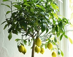 lemon ( syn lemon Four Seasons )