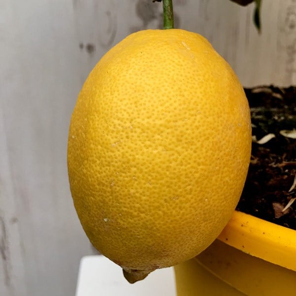 Buy Lemon Syn Lemon Four Seasons Citrus 215 Limon Gareys