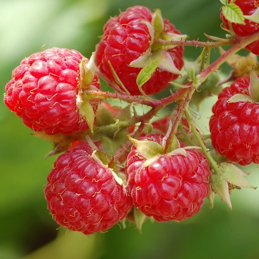 raspberry Glen Ample - summer fruiting